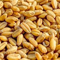 Контрольный образец. Пшеница. CS.UA.01.003